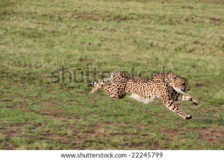 A cheetah at full sprint on an open plain