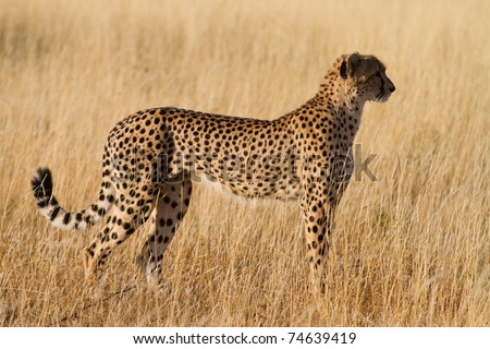 A cheetah female in golden light
