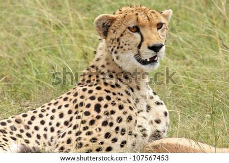 A Cheetah guards its dispatched prey--a Thomson's Gazelle--in the Masai Mara, Kenya, Africa
