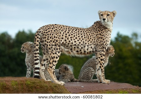 A Cheetah mother standing on a rock with her cubs
