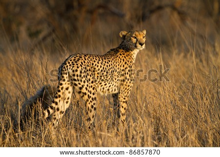 A cheetah mother with a small cub in golden light - stock photo