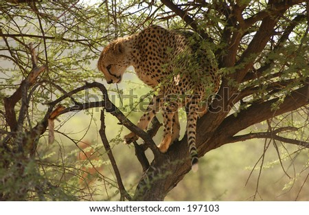 A cheetah on a tree, Namibia, Africa