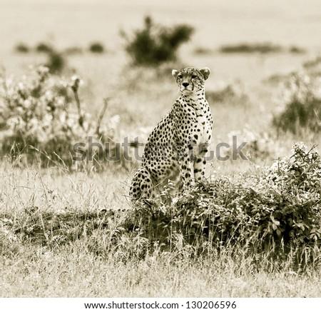 A cheetah on the Masai Mara National Reserve - Kenya - stock photo