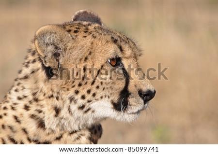 A Cheetah on the savannah