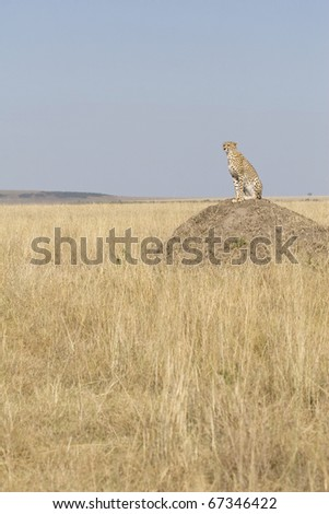 A cheetah sits on top of a termite mound in Kenya.