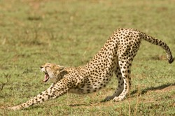 A cheetah stretching in Kenya's Masai Mara showing it's perfect teeth
