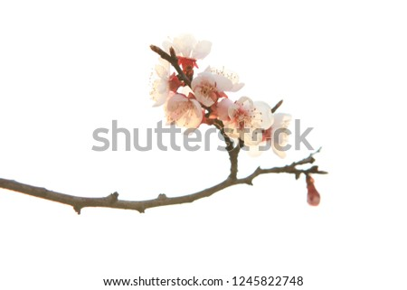 A cherry blossom blooming