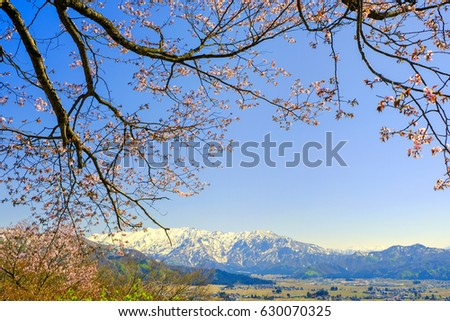 A cherry tree and the snowy mountains where it has begun to bloom