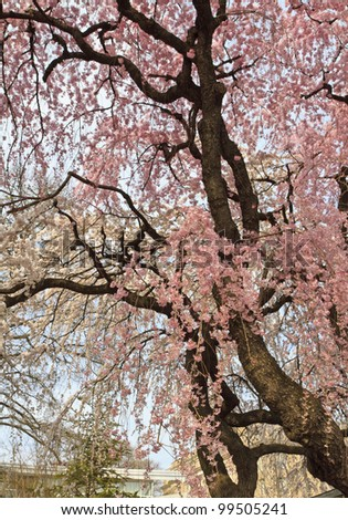 A cherry tree blooming early in the Brooklyn Botanic Gardens in New York City
