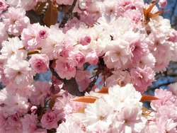 A cherry tree or Japanese cherry tree with pink flowers and young orange green leaves green during the day in the Park