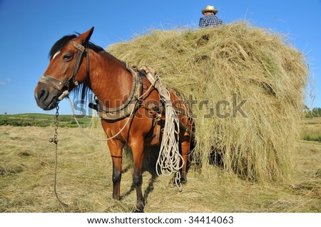a chestnut mule waits patiently while his owner stands on the hay cart loading yet more hay