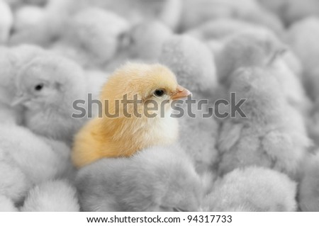 A chick in between yellow chicks group