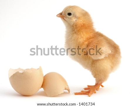 a chick leaving the shell - stock photo
