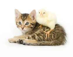 A chick stands on a kitten on white background. Both are being raised on a farm in Illinois
