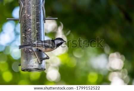 A Chickadee Perched on a Backyard Bird Feeder Filled with Black Oil Sunflower Seeds ストックフォト ©
