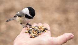 A Chickadee perches on a finger and selects seeds to eat from the palm of a hand.