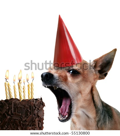 a chihuahua blowing out candles on a piece of cake