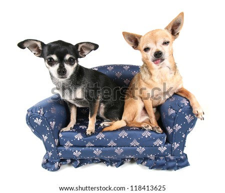a chihuahua couple on a miniature couch