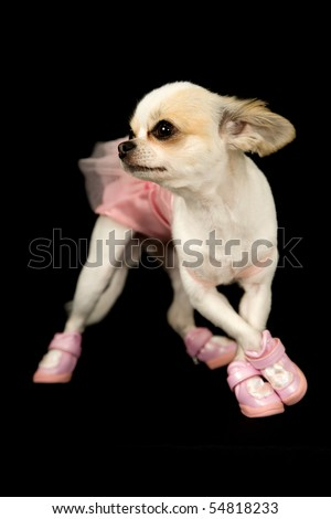 a chihuahua dog dressed in a ballerina costume standing in a dance pose