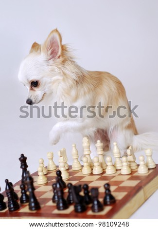a chihuahua dog plays chess