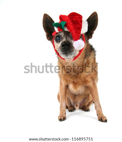 a chihuahua dressed up for christmas