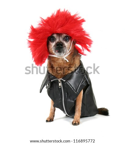 a chihuahua dressed up in a wig