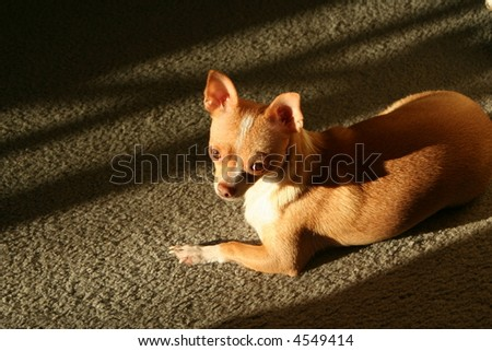A chihuahua laying in the sunlight that is streaming through the window