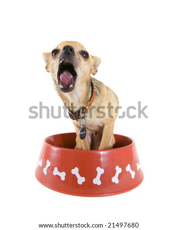 a chihuahua looks like he is yelling in a bowl