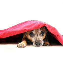 a chihuahua mix dog under a red blanket