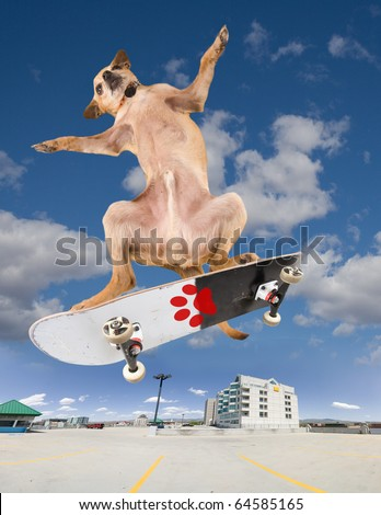 a chihuahua on a cool skateboard - stock photo