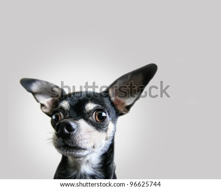 a chihuahua on an isolated background