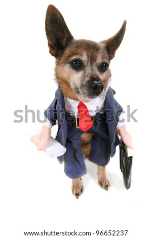 a chihuahua wearing a business suit