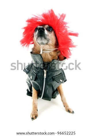 a chihuahua wearing a wig and black leather jacket