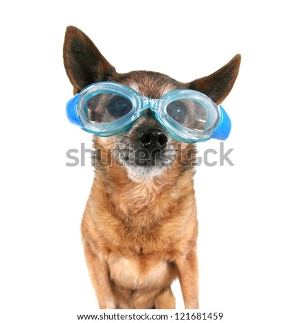 a chihuahua wearing goggles - stock photo
