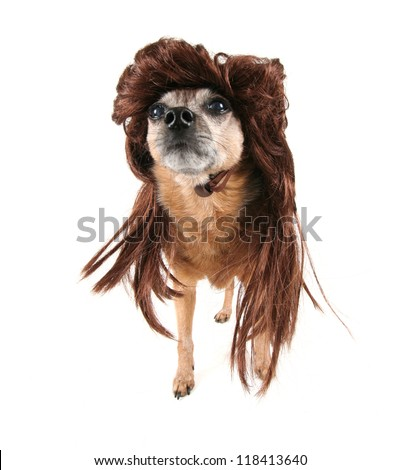 a chihuahua with a wig on