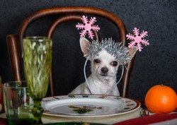 A Chihuahua with Christmas decorations on his head sits at a laid festive table. There is a glass and an orange on the table. Black background.