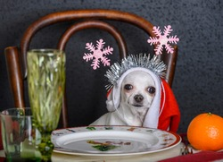 A Chihuahua with Christmas decorations on its head sits at a laid festive table. There is a glass and oranges on the table. Black background.