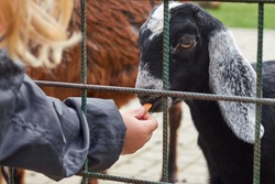 A child feeding a black goat with long ears through the bars in the zoo. Concept of animal protection in captivity.