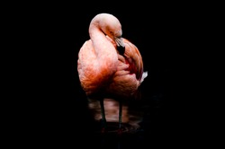 A Chilean Flamingo standing with both feet down in a pool of water, offset with a contrasting black background, and a low key reflection underneath.