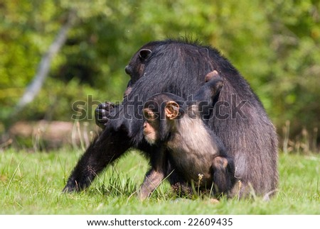 a chimpanzee family sitting one some green grass , relatives .
