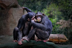 A chimpanzee is asking for food from his friend, but looks like he wants to kiss her