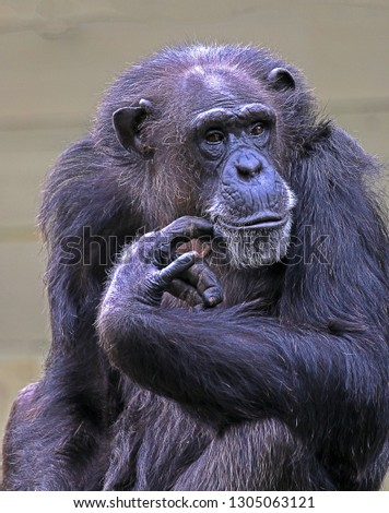 A Chimpanzee (Pan Troglodytes) in A Zoo Enclosure