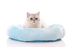 A chinchilla persian cat sitting in a cat bed on white background isolated