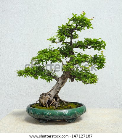 stock-photo-a-chinese-sweetplum-bonsai-tree-147127187.jpg