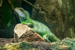 a Chinese water dragon (Physignathus cocincinus) is a species of agamid lizard native to China and mainland Southeast Asia.  Coloration ranges from dark to light green.