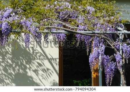 A chinese wisteria (Wisteria sinensis) in spring