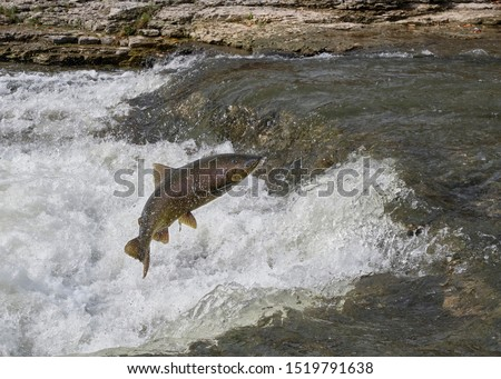A chinook salmon jumps up a ledge in the Ganaraska River as it swims upstream in the fall to lay eggs.