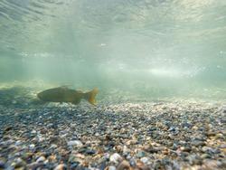 A Chinook Salmon Swimming In The Cedar River