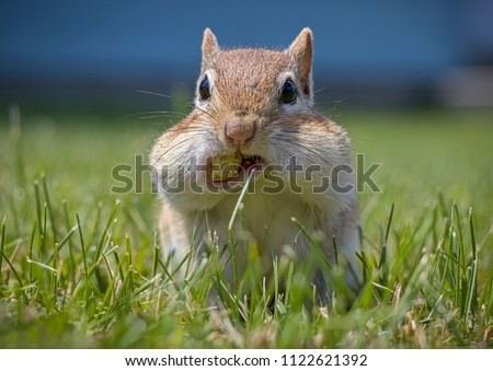 A Chipmunk's Cheeks are Filled with Peanuts