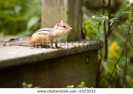 A chipmunk watching over his turf from a wooden step.